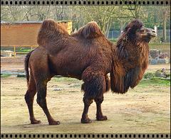Plus chameau que moi, tu meurs ! More camel than me, you die! :o))