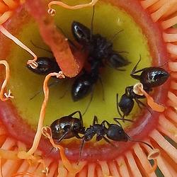 Notoncus ectatommoides