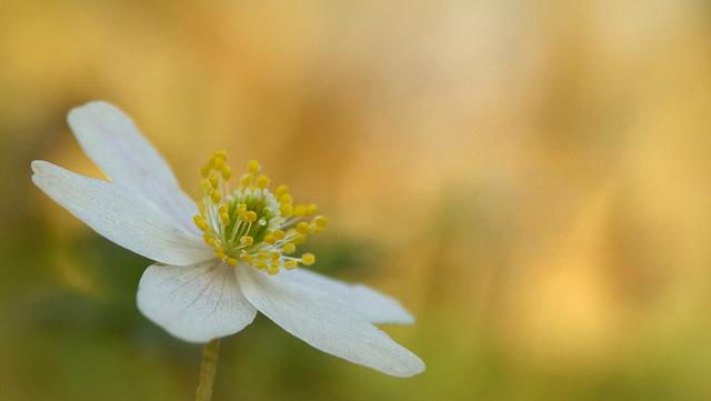 Anemone nemorosa will Bloom in a few Weeks...
