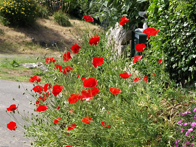"P6143182ac Roadside Flamboyant Poppies ""coquelicots"""