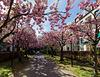 Kirschblüte am Wall (PiP)