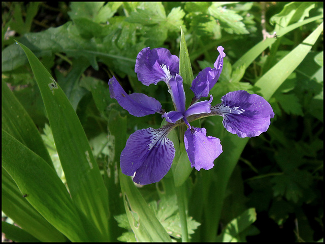 Iris tectorum forme géante (1)