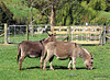 Donkey Pair.
