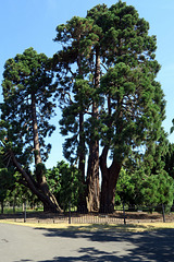 IMG 5518-001-Giant Pine