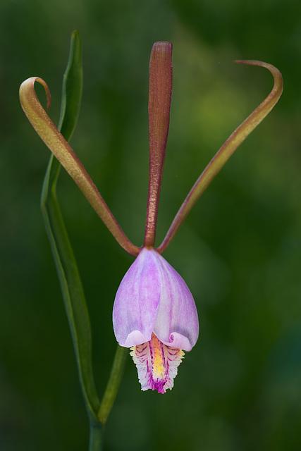 Cleistesiopsis bifaria (Mountain Small Spreading Pogonia orchid)