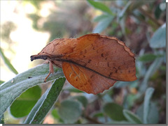 Gastropacha populifolia mâle.