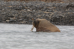 Svalbard, Nordenskiold Land National Park, The Walrus