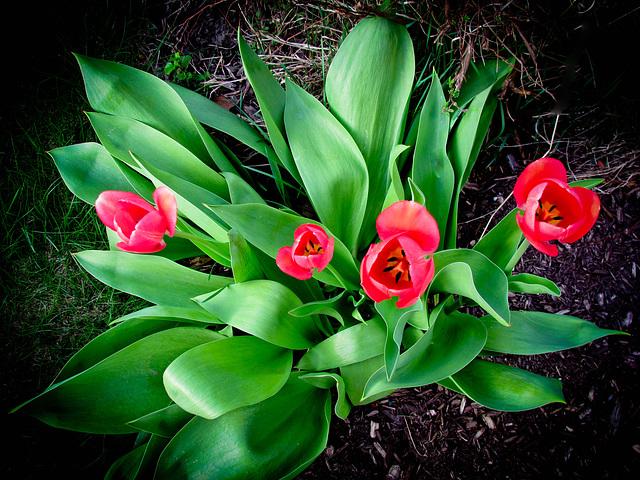 Mes tulipes sont en fleurs !
