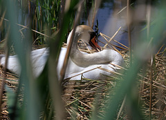 Schwan auf dem Nest