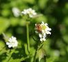 Knoblauchsrauke (Alliaria petiolata) und Schwebfliege