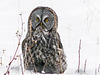Great Gray Owl with its catch