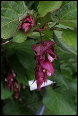 Leycesteria formosa- arbre aux faisans