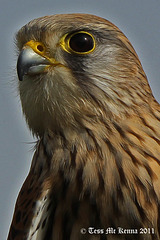 Raptor Profile 1 097   Common Kestrel  Female