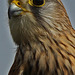 Raptor Profile 1 097   Common Kestrel  Female