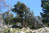Twin juniper