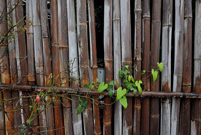 Vine on the bamboo fence