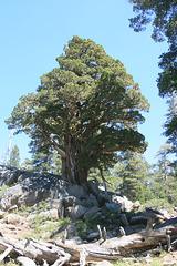 Very big juniper