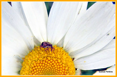 Insect On Daisy.