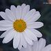 Daisy  010 copy 2