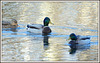 **Famille canard sur la Sarthe **