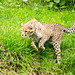 Cheetah pouncing