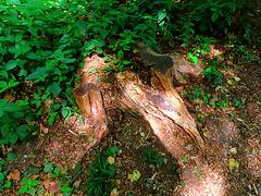 1 (25)...austria jungle forest