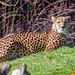 Cheetah.2jpg
