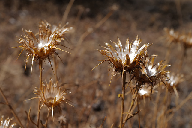Centaurea ornata.