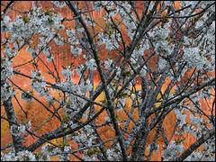 Le cerisier enchanté [ON EXPLORE]