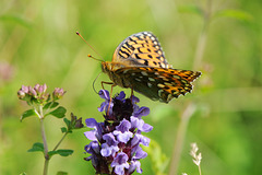 Dark Green Fritillary II