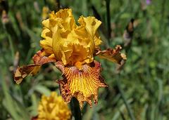 Iris 'Jitterbug'