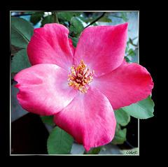 Last sunday rose. ©UdoSm