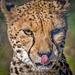 Cheetah.3jpg