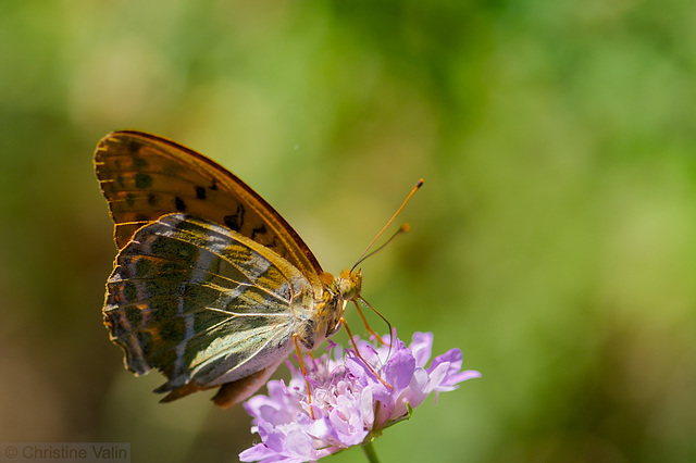 butterfly on wild flower
