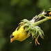 American Goldfinch eating Sunflower seeds