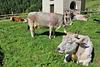 Glückliche Kühe - wünsche allen ein schönes Wochenende