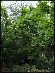Magnolia macrophylla (1)