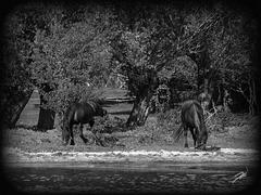 (fluss) pferde#
