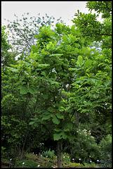 Magnolia macrophylla (2)