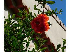 Grenadier en fleurs************