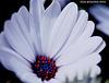 Cape Daisy (Osteospermum) 056 copy