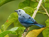 Blue-gray Tanager /Thraupis episcopus, Asa Wright, Trinidad