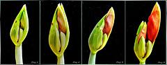 Amaryllis erblüht 1. ©UdoSm