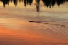 Muskrat and Sunset