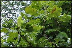 Magnolia macrophylla - Magnolia à grandes feuilles