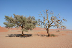 Namibia, Rare Trees in the Desert of Namib
