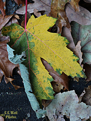Silver Maple in Yellow and Green