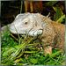 Green iguana. ©UdoSm