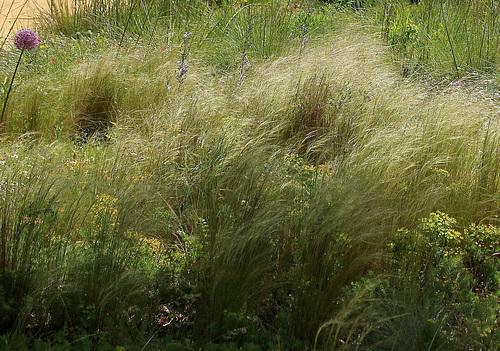 Stipa tenuifolia (2)