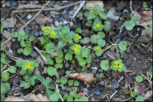 Chrysosplenium alternifolium (2)